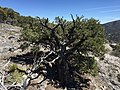 2015-04-27 13 22 25 A small Single-leaf Pinyon on the north wall of Maverick Canyon, Nevada.jpg