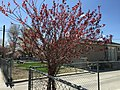 2015-05-01 14 23 07 A purple-leaved plum in Spring along Southside Drive in Elko, Nevada.jpg