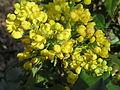 20150410Mahonia aquifolium1.jpg