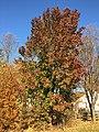 2017-11-29 14 57 48 A Callery Pear in late autumn in Franklin Farm Park in the Franklin Farm section of Oak Hill, Fairfax County, Virginia.jpg