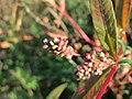 20171015Persicaria lapathifolia2.jpg