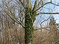 2018-01-28 (123) Climbing plant at tree near Groß-Brandgraben in Kirchberg an der Pielach.jpg