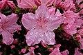 2018-04-29 Blüte einer Gartenazalee (Rhododendron simsii).jpg