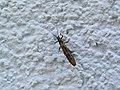 2018-05-13 (240) Insect at Bichlhäusl in Frankenfels, Austria.jpg