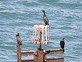 2018-09-07 Great Cormorants (Phalacrocorax carbo) on Trimingham Beach (2).JPG