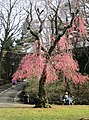 2018 Fort Tryon Park - weeping cherry tree in early spring.jpg