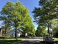 2019-04-27 16 26 12 Pin Oaks leafing out in mid-Spring along Thorngate Drive near Farmbell Court in the Franklin Farm section of Oak Hill, Fairfax County, Virginia.jpg