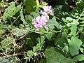 2021-06-25 14 21 28 Crown vetch flowering along a walking path in the Franklin Farm section of Oak Hill, Fairfax County, Virginia.jpg