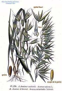 《法蘭西植物圖譜》 (1891), Avena sativa