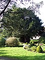4000 Year Old Yew Tree - geograph.org.uk - 314565.jpg