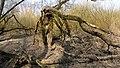 4 Salix alba.jpg
