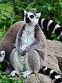 50 Jahre Knie's Kinderzoo Rapperswil - Lemur catta 2012-10-03 15-29-32.JPG