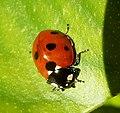 7-spot Ladybird. Coccinella 7-punctata - Flickr - gailhampshire (1).jpg
