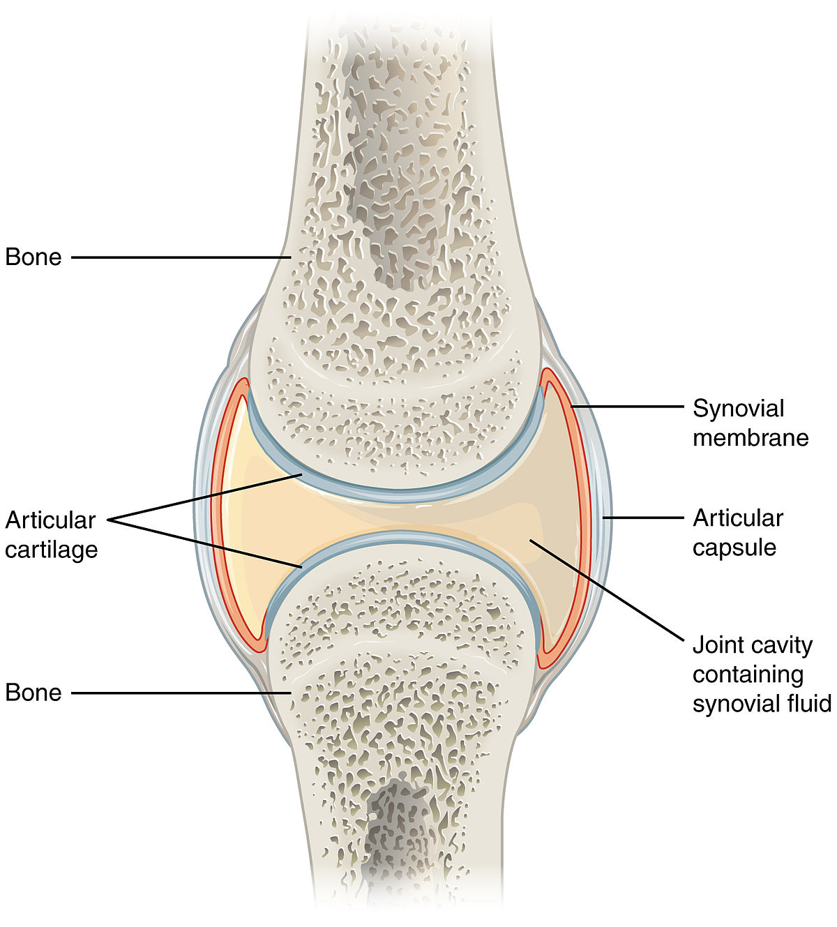 Synovial joint - Wikipedia