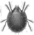 ACAR Ramsayellidae Ramsayellus grandis.png