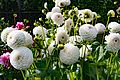 ADD SOME COLOUR TO YOUR LIFE (FLOWERS IN A PUBLIC PARK)-120121 (29238863616).jpg