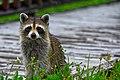 A Raccoon in the rain.jpg