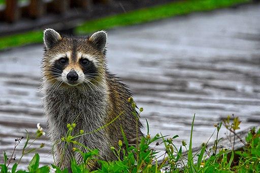 A Raccoon in the rain