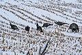 A Row of Turkey Birds in the Snow (50722797147).jpg