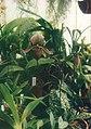 A and B Larsen orchids - Paphiopedilum lawrenceanum x curtisii 739-19.jpg