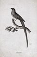 A bird; a Cape coly. Etching by Griffith. Wellcome V0022297.jpg