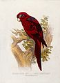 A blue-striped lory (Lorius cyanostriatus). Colour lithograp Wellcome V0022170EL.jpg