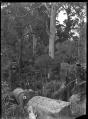 A fallen kauri in a stand of kauri bush, near Piha. ATLIB 286820.png
