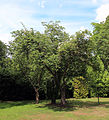 A group of trees with hedging Gibberd Garden Essex England 03.JPG