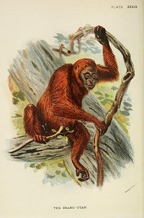 A hand-book to the primates (Plate XXXIX) (7047660653).jpg
