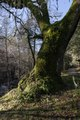 A moss-covered tree along Mill Creek, beside the Bale Grist Mill, now a California Historic Park, operated by the Napa County Regional Park and Open Space District on California Highway 29 between St. LCCN2013630799.tif
