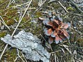 A small piece of finnish nature.... (pine cone) - panoramio.jpg