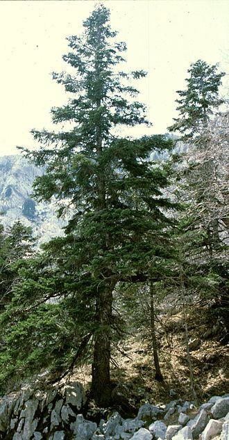 Dinaric calcareous block fir forest - Silver fir on Orjen on bare limestones
