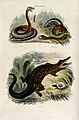 Above, a viper rearing and a rattle snake wriggling through Wellcome V0020813.jpg