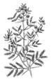 Acacia (PSF).png