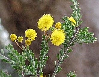 Acacia acanthoclada - Image: Acacia acanthoclada