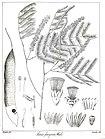 Acacia ferruginea Govindoo.jpg
