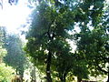 Acacia melanoxylon 1.jpg