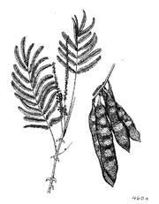 Acacia polycantha