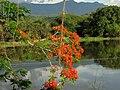 Acacia roja - Flamboyán (Delonix regia) (14092013979).jpg