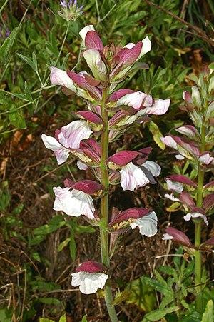 Acanthus mollis - Inflorescence of Acanthus mollis