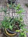 Acanthus ebracteatus Gardenology.org-IMG 7887 qsbg11mar.jpg