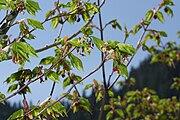 Acer circinatum 6925