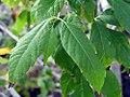 Acer cissifolium henryi 2zz.jpg