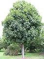 Acer platanoides 'Columnaris'.jpg