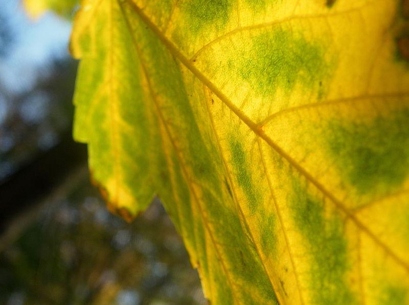 File:Acer pseudoplatanus (16).JPG