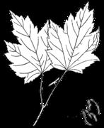Acer rubrum rubrum drawing.png