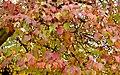 Acer tataricum ginnala PfP.jpg