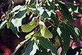 Acer triflorum 0zz.jpg