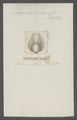 Acera carnosa - - Print - Iconographia Zoologica - Special Collections University of Amsterdam - UBAINV0274 081 04 0004.tif