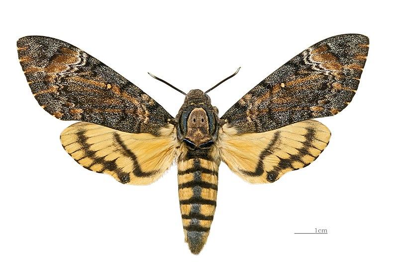 File:Acherontia styx styx MHNT女性Dos.jpg